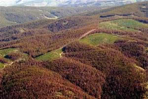 Trees killed by the mountain pine beetle near Granby, CO
