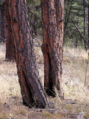 Fire scars on ponderosa pines, Colorado Front Range foothills