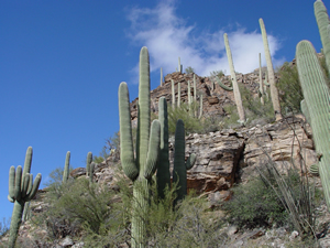 Saguaro cactus in Sabino Canyon in southeastern Arizona
