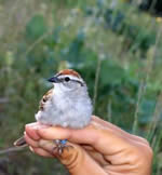 Link to Impacts of Exotic Plants on Songbirds
