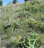 Link to Weed Impacts on Native Plant Communities