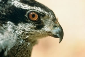 Hover to pause — Northern Goshawk