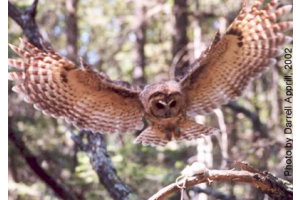 Hover to pause — Mexican Spotted Owl