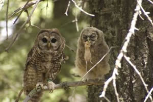 Hover to pause — Adult & juvenile Mexican Spotted Owl with Deer Mouse