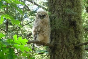 Hover to pause — Mexican Spotted Owl juvenile