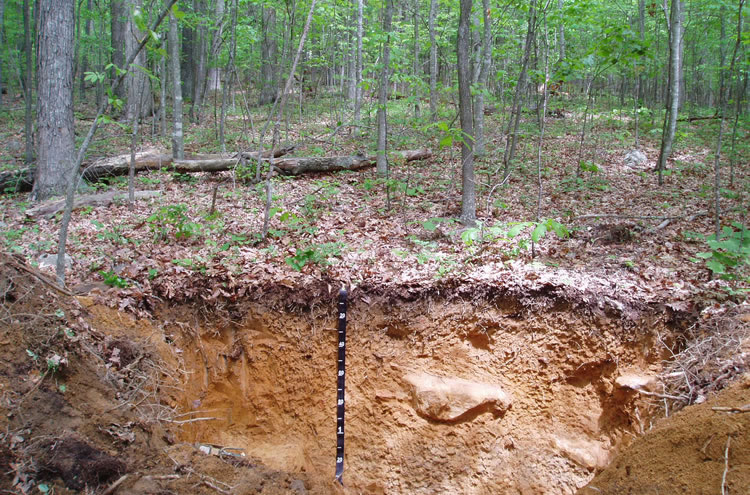 Man looking at a soil profile in a hardwood forest.