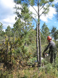 A Tribal member working on a ponderosa pine thinning project on the reservation.