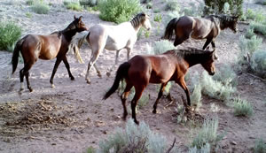 Four wild horses, three brown horses and a white horse.