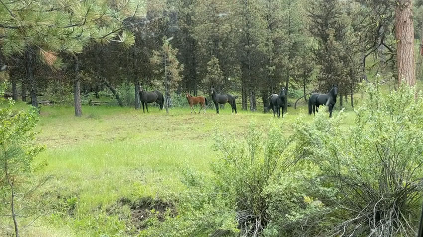 Five horses at the edge of a pine forest opening.