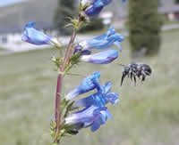 bee flying up to a blue flower.