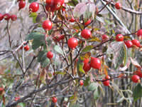 red-berry bush.