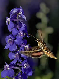 white-lined sphinx moth (Hyles lineata) flying up to a purple flower.