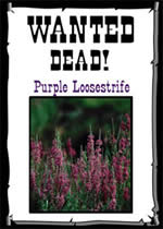 Wanted Dead - Purple Loosestrife poster.