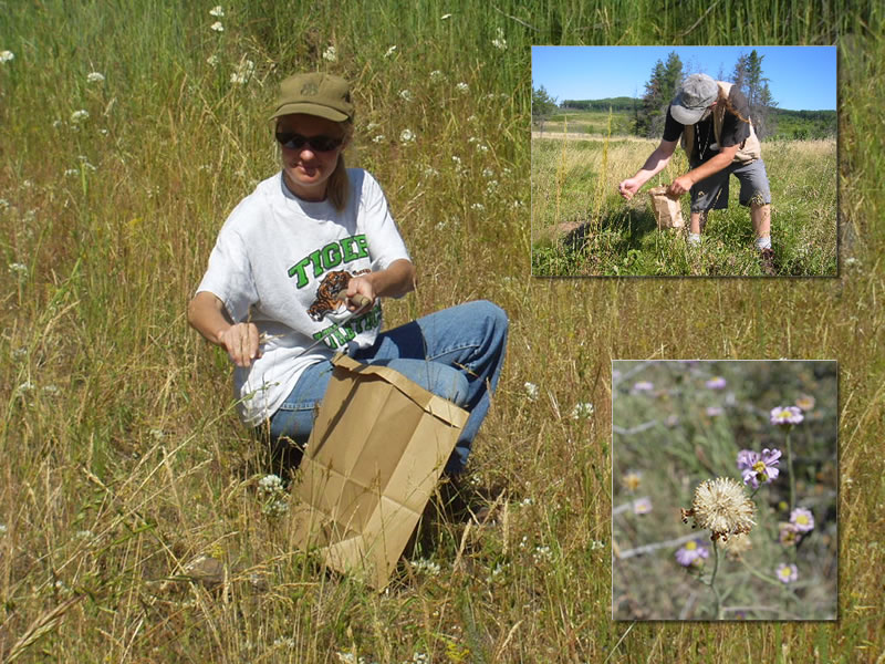 Three pictures: background is a woman kneeling with a brown paper bag collecting seeds from wild plants; lower right is a closeup of a plant seedhead; upper right is a man holding a small brown bag bending over collecting seeds.