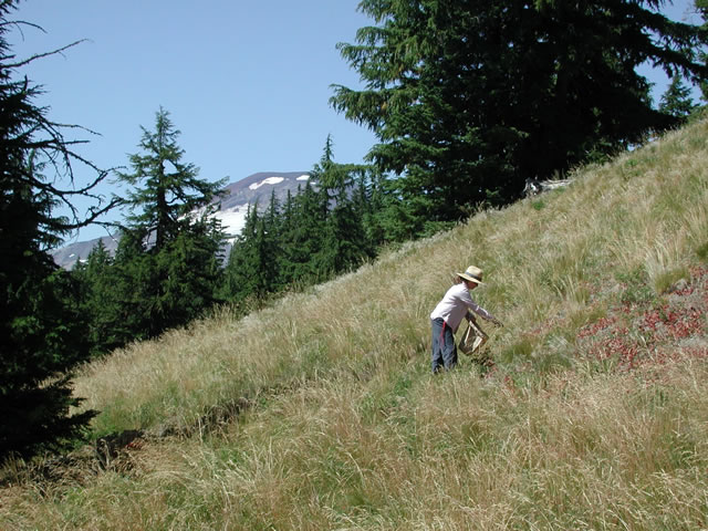 woman picking seeds from green fescue grass on a mountain slope.