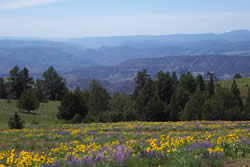 Landscape picture: open meadows with yellow flowers in the foreground, conifer forest in the mid-ground, and sparsely forested hills in the background.