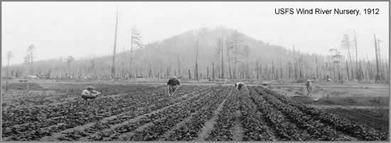 An old historical black and white the Forest Service Wind River Nursery, 1912. Displays four people working in rows of plants, with trees and a mountain in the background.