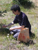 man collecting native plant seeds.