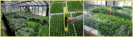 Three pictures: left is a man working with plants in a greenhouse, center is a hand holding up a seedling in a planting tube against a ruler, and the right photo is of plants growing in containers in a nursery.