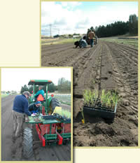 Two pictures of a tractor and crew planting seedlings in a nursery with a mechanical planter.