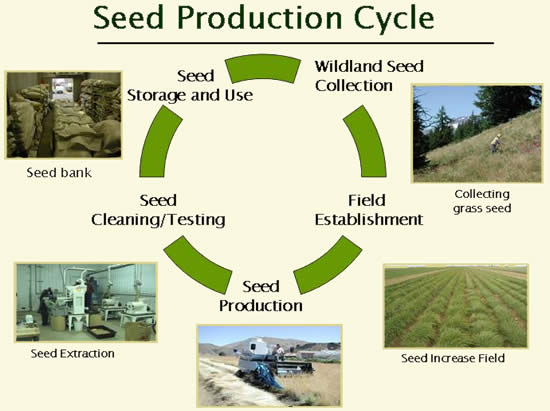 Seed Production Cycle graphic displaying a circular diagram describing the seed production steps with pictures related to each step.