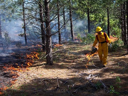 man dressed in yellow firefighting clothing and equipment uses a drip torch to light an undeburn in a young forest.