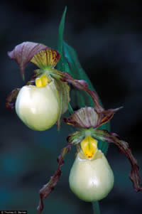 Closeup Kentucky lady's slipper orchid flowers.