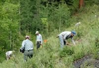 three men and two women, volunteers, planting Holy Ghost ipomopsis on a hillside.