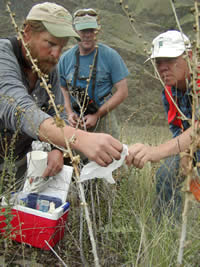 three men releasing three-toed stem-boring weevils on Dalmatian toadflax.