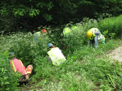Volunteers and staff pull the non-native invasive plant wild chervil from roadside ditches.
