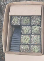 Robbins' cinquefoil seedlings in small square pots in a box.