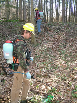 Forest Service personnel treating the non-native invasive species.