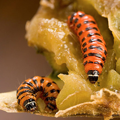 two bright orange cactus moth larvae.