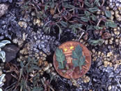 Lomatium greenmanii leaves compared to a penny.