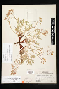 Herbarium specimen of Potentilla johnstonii.