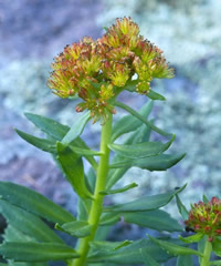 New Mexico stonecrop flower