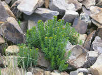 New Mexico stonecrop plant