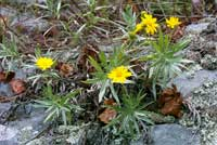 Pityopsis ruthii, Ruth's golden aster.