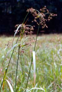 Scirpus ancistrochaetus, northeastern bulrush.