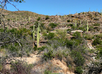 Desertscrub with many saguaros.