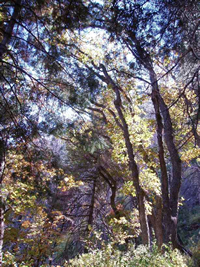 A view underneath the canopy of a mixed conifer forest.