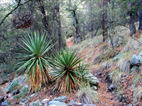 Yuccas growing along a trail in the mountains.
