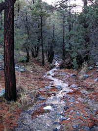 Small stream in a pine forest.