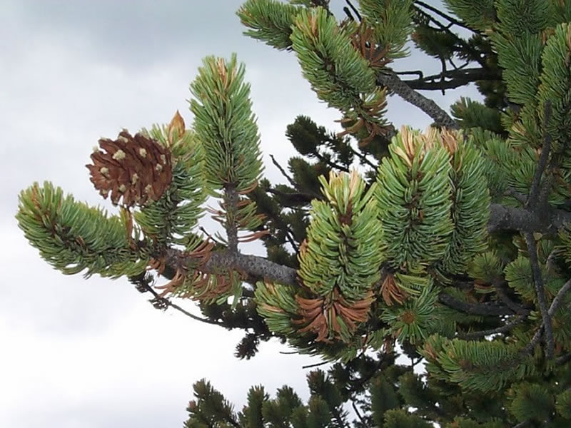 The branch tips of bristlecone pines.