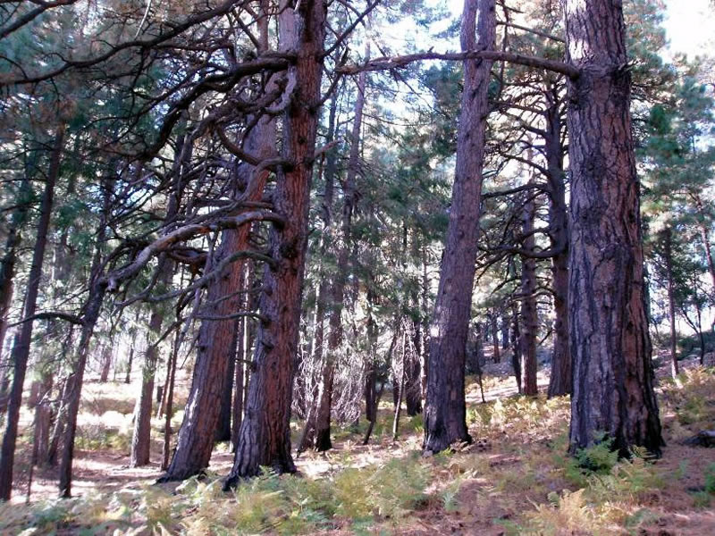 small patch of old growth ponderosa pines within a mixed conifer forest.