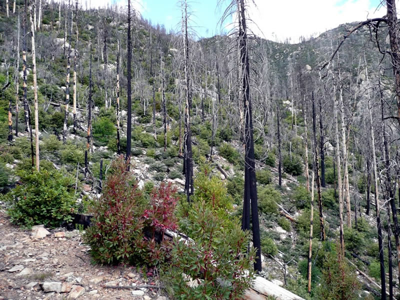 This mixed conifer forest burned in 2004..