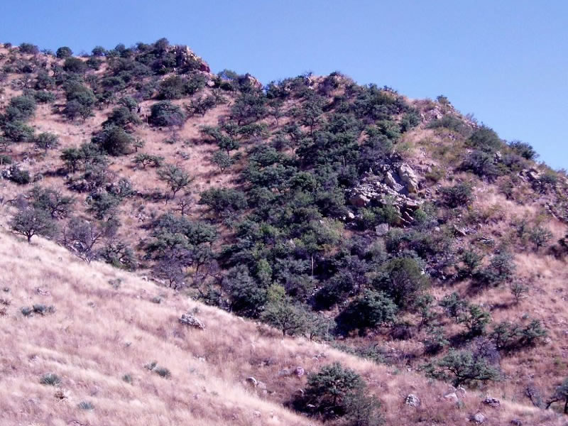 Patch of evergreen oak woodland and adjacent grassland in the Tumacacori Highlands.