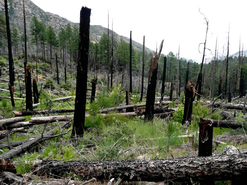 Fire destroyed this pine forest in 2004.