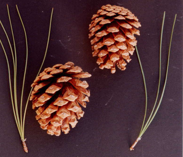 Arizona pine on the left usually has five needles while ponderosa pine on the right usually has three.