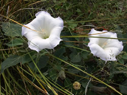 Datura plant with open flowers, flower buds, and closed flowers.